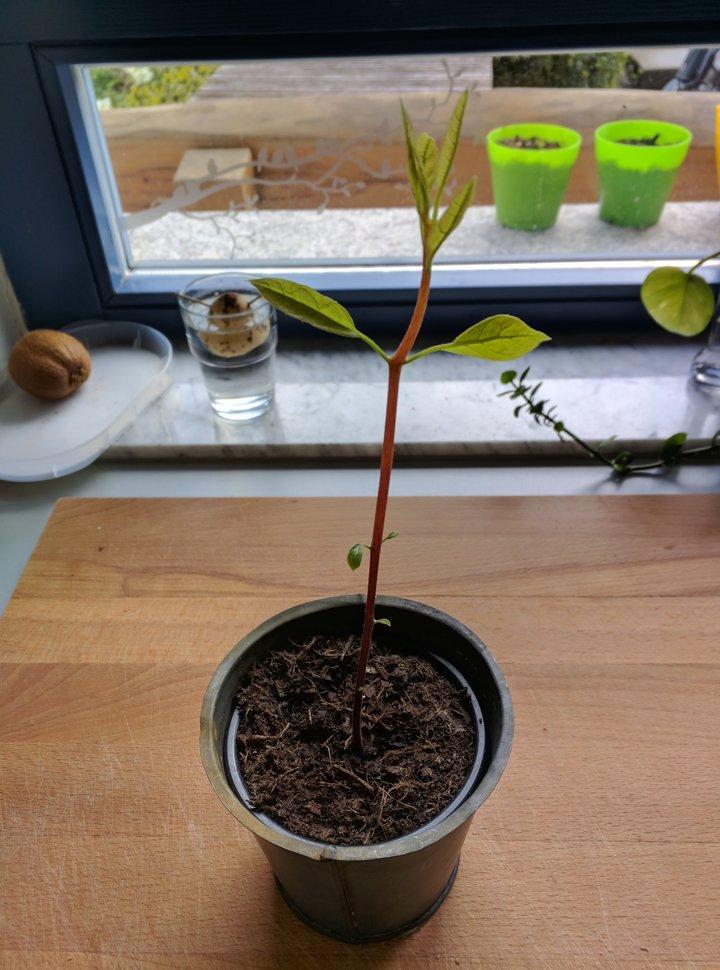 Avocadobaum
