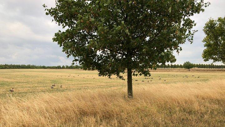 Gänse auf den Kronsbergwiesen