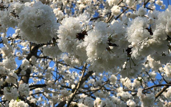 Kirschblütenzeit an der Drachenwiese