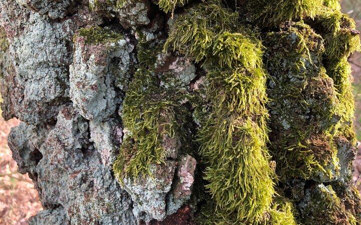 Urige Birkenbaumrinde
